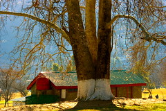 I Was Tagged ;) 100 Years Old Tree (Abbottabad, Pakistan) (Amir Mukhtar Mughal | www.amirmukhtar.com) Tags: roof pakistan red tree beautiful canon landscape big branches scenic hut oldtree amir bigtree hugetree abbottabad amirphotographyyahoocom 100yearoldtree