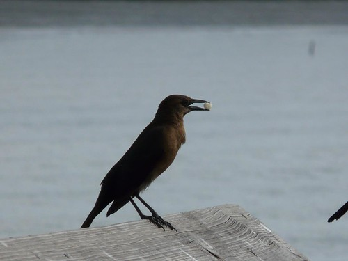 female common grackle. Female Common Grackle