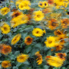 Summer Breeze (Rkival) Tags: summer motion speed slow myweb sunflower shutter breeze