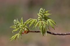 treebuds