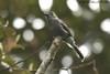 Smoke-colored Pewee (Michael Woodruff) Tags: bird southamerica birds canon ecuador birding sa 30d subtropics pewee contopus tandayapa tandayapavalley nwecuador smokecolored smokecoloredpewee contopusfumigatus