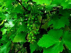 Growing stage (Wine leaf and Grapes) (natureloving) Tags: green bravo grapes soe natures naturesfinest blueribbonwinner supershot flickrsbest vinegrape impressedbeauty ultimateshot superbmasterpiece goldenphotographer top20green diamondclassphotographer flickrdiamond natureloving