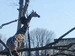 1ZooGiraffe
