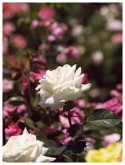 Rose 070520 #30