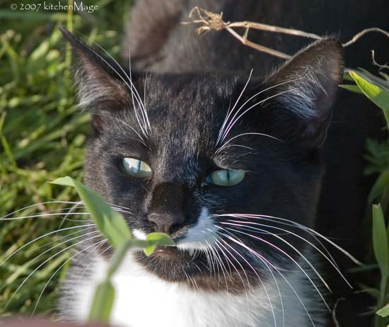 orca (cat) in the grass
