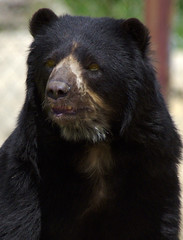 Spectacled Bear - by dbarronoss