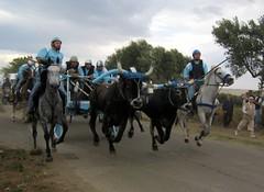 Carrese Portocannone: giovani (m1979) Tags: cavalli carri giovani molise buoi portocannone carrese corsadeicarri