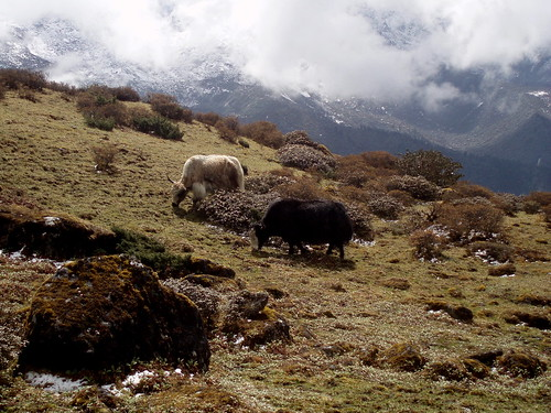 Yaks eating, 4800m high