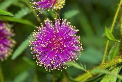A purple Explosion! - by dbarronoss
