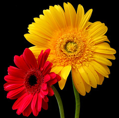 Friday Flowers (Vanda's Pictures) Tags: flowers macro quality petal gerbera daisy soe excellence fantasticflowers 1on1flowers anawesomeshot superaplus aplusphoto wowiekazowie flowershare
