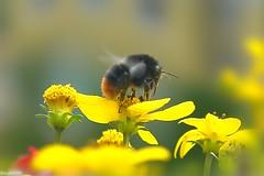 like honey in the sunshine (summ99) Tags: flower macro nature beauty animal furry special blume makro fell tier hummel summ99 bumbelbee pelzig brillianteyejewel macromarvels