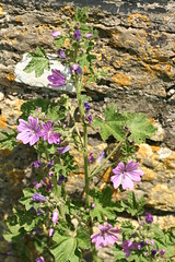 527560422 Common_Mallow 2007-06-02_12:57:54 Oxford_Canal