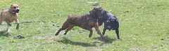 Rex, Napoleon, Maggie (muslovedogs) Tags: playing dogs maggie napoleon rex canecorso mastweiler