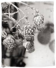 Cardi (Giorgio Bordin) Tags: altprocesses platinotype pure palladium print hanehmühle