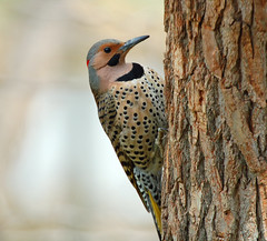 Northern flicker at Flickr.com