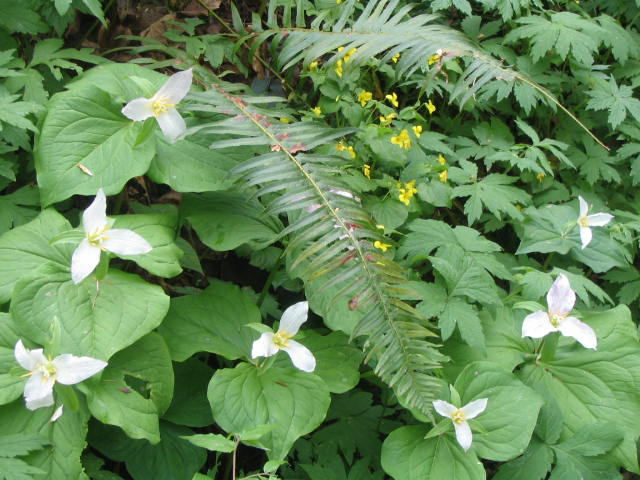 Trillium, Ferns, and Violets