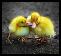 Ducky Love  [104/365] - by Lab2112