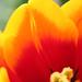 Tulipe pleureuse