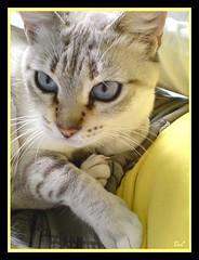 """ En amarillo "" (aunqtunolosepas) Tags: blue pet cats pets cute beautiful animal animals yellow azul cat grey gris eyes feline bea sweet adorable movil kitty gatos cutie amarillo ojos gato kitties gata felinos felino animales lovely cuteness mascota mascotas gatita gatito brisa tunafish cc200 tunafished aunqtunolosepas"