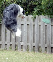 Eubie gets AIR 0018 (cosmosjon) Tags: dog playing dogs jump frisbee bordercollie bluemerle flydog jonathansabin