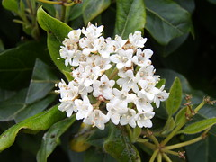 White Flowers (Dominic Hodgson) Tags: flowers white dominic hodgson