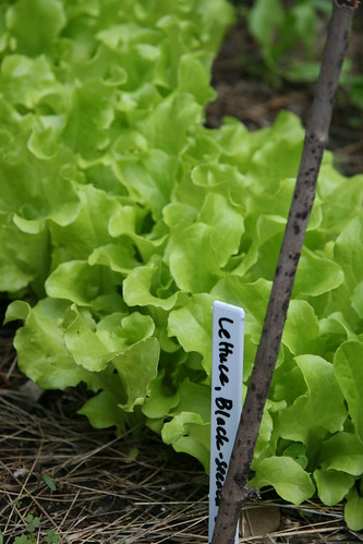 lettuce simpson