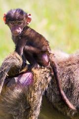 070520-167 Kenya - Baboon - by Andries3