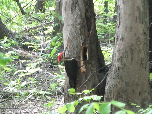 Pileated Pecker