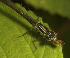 """Damselfly With Prey #3 • <a style=""""font-size:0.8em;"""" href=""""http://www.flickr.com/photos/57024565@N00/519750816/"""" target=""""_blank"""">View on Flickr</a>"""