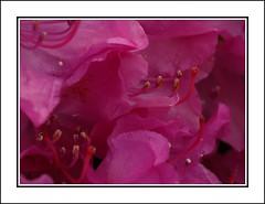 Rhododendrom II (Kirsten M Lentoft) Tags: pink flower excellence rhododendrom momse2600 kirstenmlentoft