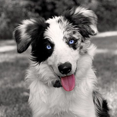 Technicolor Mayday (Xanboozled) Tags: dog puppy searchthebest bordercollie mayday selectivecolor anawesomeshot