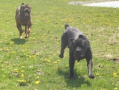 Napoleon & Maggie (muslovedogs) Tags: playing dogs maggie napoleon canecorso mastweiler