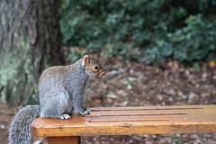 Waiting For A Treat (fotojak1) Tags: squirrel rodent animal wildlife edinburghsquirrels outdoor outside scotland autumn cute bushytail easterngray edinburgh botanicgraden handheld nikkor50mmf18 nikond7100 johnritchie f40at1640 iso6400