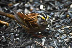 White-throated Sparrow (R. Murphy Photography) Tags: whitethroated sparrow nikon d600 sigma wildlife birds