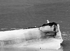 Glacier Bay NP ~ Gull perch (karma (Karen)) Tags: glacierbaynp alaska usparks bays ice birds gulls bw monochrome hmbt