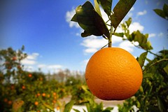 Orange You Glad It's Sunny (crashmattb) Tags: orange tree fruit leaf florida odessa fresh citrus groves canondigitalrebelxti canonefs55250f456is
