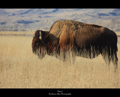Bison (Kevin Aker Photography) Tags: favorite southdakota landscape photography photo moving nationalpark interestingness amazing interesting buffalo kevin image photos wildlife favorites images explore strong badlands prairie bison frontpage thebest aker flickrfavorites mostviews favoritephotos tatanka bestphotos favoritephotography coolimages photographyfavorites flickrsbest coolimage specanimal awesomecapture amazingphotos thebestonflickr amazingphotography coolphotography colourartaward colourartawards awesomeimages awesomeimage profesionalphotography strongphotography kevinaker kevinakerphotography everyonesfavorites coolcaptures showmethebestphotos exploremyphotography simplyawesomephotography bestphotographyonflickr photoswiththemostviews strongphoto
