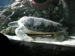 Meerwasser-Schildkröte
