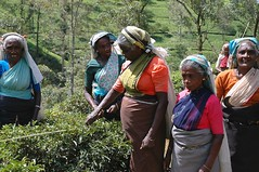 Tea Pickers in Nuwara Eliya region of Sri Lanka. (One more shot Rog) Tags: cane tea canes srilanka pick picking pickers nuwaraeliya tealadies srillanka teapickers teacountry