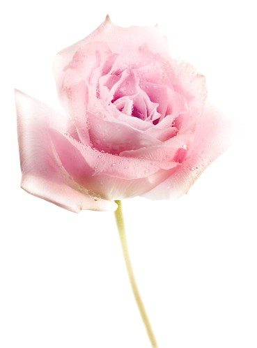 Rose Study 4