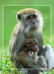 Healing the injured child (KhoonKiah) Tags: baby animal monkey malaysia penang care healing botanicalgarden injured surviving rhesusmonkey 4eyes motherlove rhesus recovering parkstock interestingness139 i500 mumandchild nikkor70300mmvr wowiekazowie explore20070406