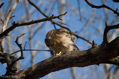 Red Shouldered Hawk with rodent(3)