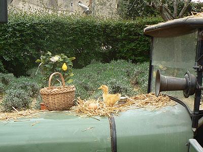 petit canard.jpg