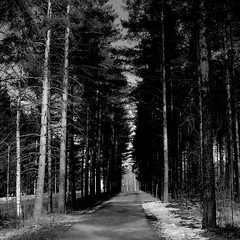 there and back again (sparkleice) Tags: morning trees light bw white black pine blackwhite alley shadows sparkleice