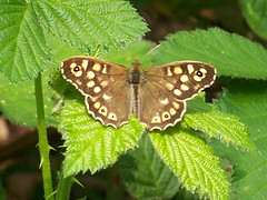 Speckled Wood in Stave Hill Ecology Park