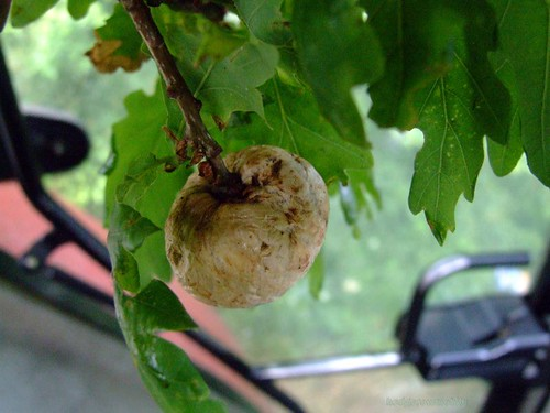 Oak apple gall - Biorhiza pallida DSCF3020