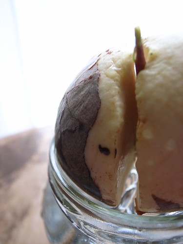 sprouted avocado seed