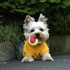 New ball? (shinichiro*) Tags: santa dog yorkie japan nikon order d200 crazyshin 2007 1on1pets lmaoanimalphotoaward ishflickr exp435100views12fave4g 20070603036 dogsall order500 order20101106