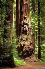 Massive Life (Andrew Luyten) Tags: california usa tree forest redwood sequoia redwoodnationalpark sequoiasempervirens pfevergreen primevalforestgroups