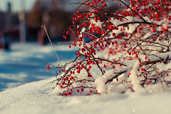 The winter has come (re-l_mair) Tags: beautiful berries sun sunny awesome canon eos7d white red winter colorful bright